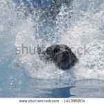 stock-photo-a-dog-lands-in-a-pool-of-water-big-splash-beautiful-landing-with-face-visible-141396904